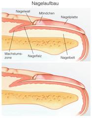 Nagel im Querschnitt.Nagelaufbau