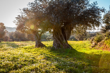 old olive trees grove in bright morning  sunlight
