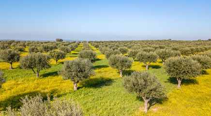 Canvas Prints Honey Drone aerial view of olive grove in Alentejo Portugal