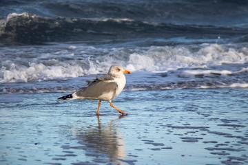 walking young gull