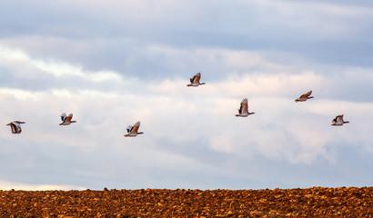 Bando de avutardas comunes en vuelo en la Comarca de Los Oteros. Otis tarda.