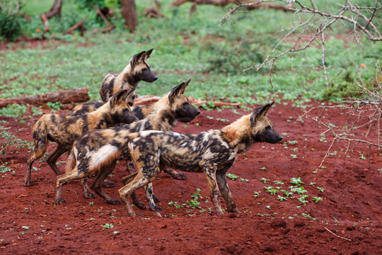 African Wild dog watching at a warthog hole in Zimanga Game Reserve - South Africa
