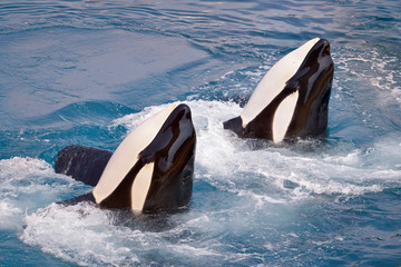 Wall Mural - Two killer whales (Orcinus orca) in whirlpool water