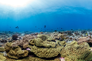 Healthy coral reef and fish in Palmyra