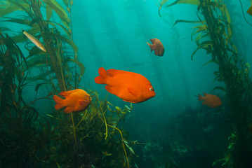 Garibaldi Damsel swimming between giant kelp plants