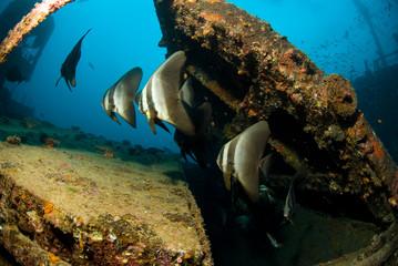 Group of Long Fin Batfish at ship wreck