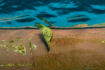 Young Longfin Batfish (Tall Fin Batfish) in front of a boat in blue water