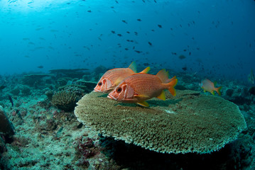 Giant Squirrelfish hovering above a stone coral on the reef