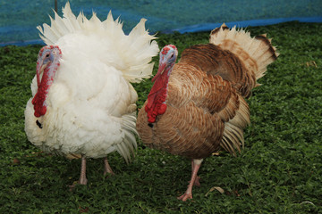 Two big turkey in garden