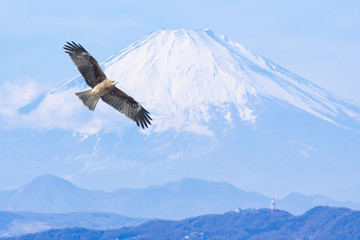 Black kite flies before Mt. Fuji in winter.