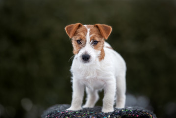 jack russell terrier puppy standing outdoors