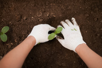 Spring garden work: planting cucumber seedling with gloves