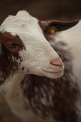 Capra bianca e marrone al pascolo in una fattoria, Siviglia, Spagna