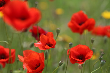 poppy field with flowers and fragrant herbs, landscape