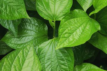 Edible Medicinal Green Leaves of Piper sarmentosum Roxb. ex Hunter