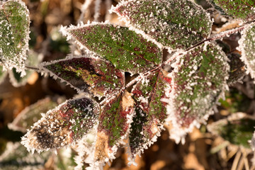 Detail of red and green leaves in winter with ice. Frosty winter time