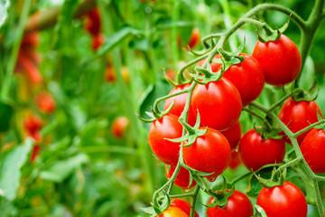 Fototapeta Fresh ripe red tomatoes plant growth in organic greenhouse garden ready to harvest obraz