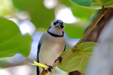 Blauhäher in Florida