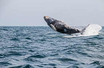 Humpback whale jumping in the peruvian Pacific Ocean. Fourth stretch