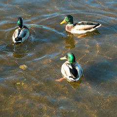 Wild Ducks, male mallards are swimming on a river with green water and looking for food. Square image