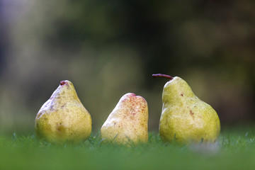Composition of three yellow pears in fresh grass blurred dark green blurred copy space background.