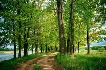 Beautiful landscape with road in summer oak forest.