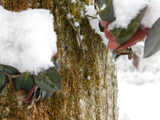 snow bark ii