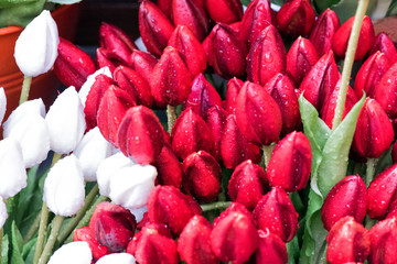 Tulip. Beautiful Tulip flowers with dew drops. Spring flowers are the symbol of love.