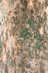 Close Up Of Elm Tree Bark With Green Moss