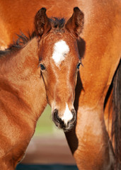 Chestnut Brown foal and it's mother
