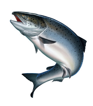 Atlantic salmon or pink salmon on a white background. Red salmon. Fishing on the river, northern fish.