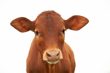 Photo sur Aluminium Vache A young brown calf, cow, looking at the camera, with clean white sky, isolated
