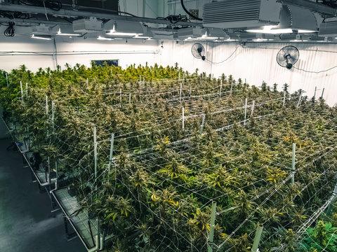 Indoor Commercial Growing Operation for Recreational Marijuana Plants