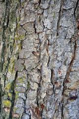 Baumrinde mit Efeu im Wald
