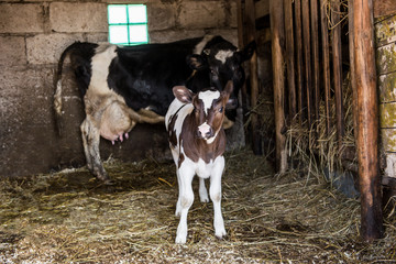 Animals in the stables.Photo of a little calf with mother of cow.The living creature on the farm.Village.