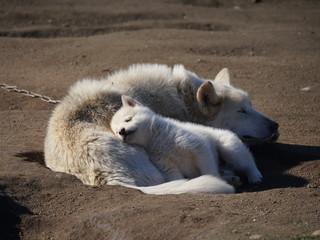 Schlafender Schlittenhund mit Welpe Grönland