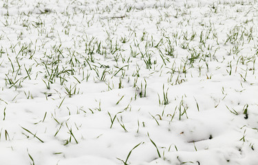 wheat sprouts in the snow
