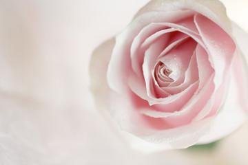 Soft pink rose flower background