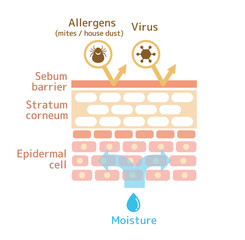 Sectional view of the skin. Healthy skin illustration.