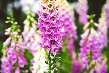 digitalis pink, garden flowers