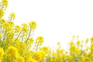 Fotorollo Gelb 菜の花畑