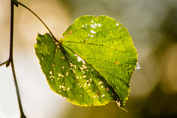 autumnal painted lime tree leaf in back light
