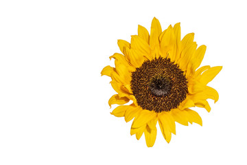 Fine art still life color macro image of a single isolated yellow sunflower blossom in bright sunshine with detailed texture and copy space isolated on white background, seen from the front