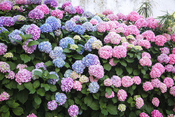Fotomurales - Hydrangea is pink, blue, lilac, violet, purple flowers. Bushes are blooming in spring and summer in countryside street garden.