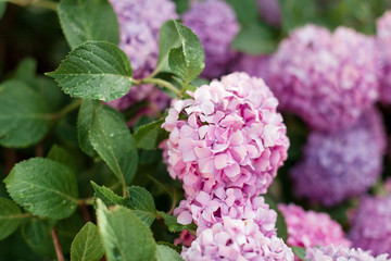 Fotomurales - Pink and purple hydrangea flowers. Bushes are blooming in spring and summer in town street garden.