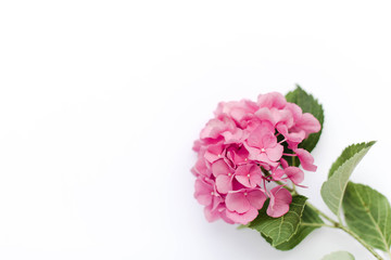Papiers peints Hortensia Beautiful hydrangea isolated on white background. Pink flowers hortensia are blooming in spring and summer.
