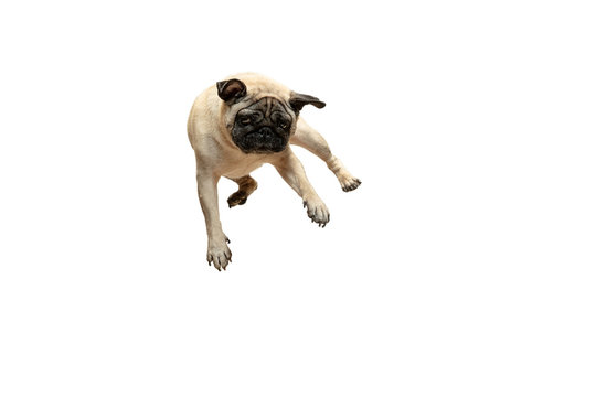 Cute pet dog pug breed jumping with happiness feeling so funny and making serious face. Purebred and smart dog isolated on white background. The friendly concept