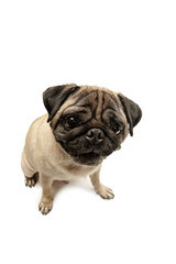 Cute pet dog pug breed sitting and smile with happiness feeling so funny and making serious face. Purebred and smart dog isolated on white background. The friendly concept