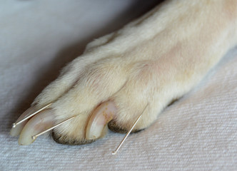 Acupuncture treatment of white dog. Paw and toes.