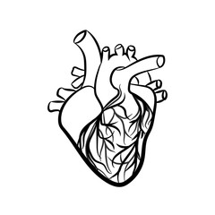 Human heart anatomically. Vector simple heart sign.